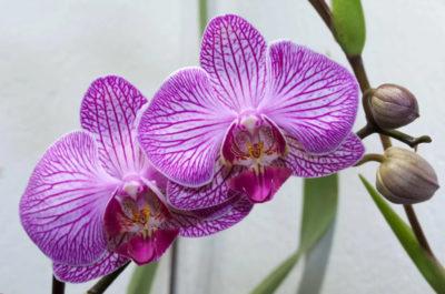 Фото орхидеи